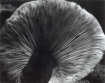 Edward Weston - Mushroom