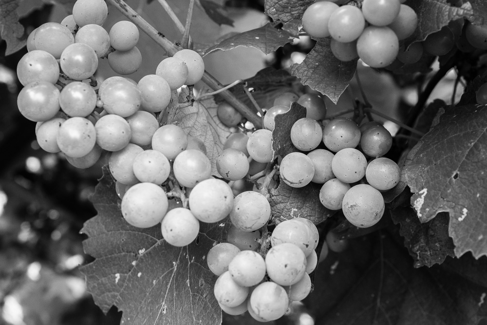 Original Image - Grapes, Castelglione d'Orcia, Tuscany, 2014