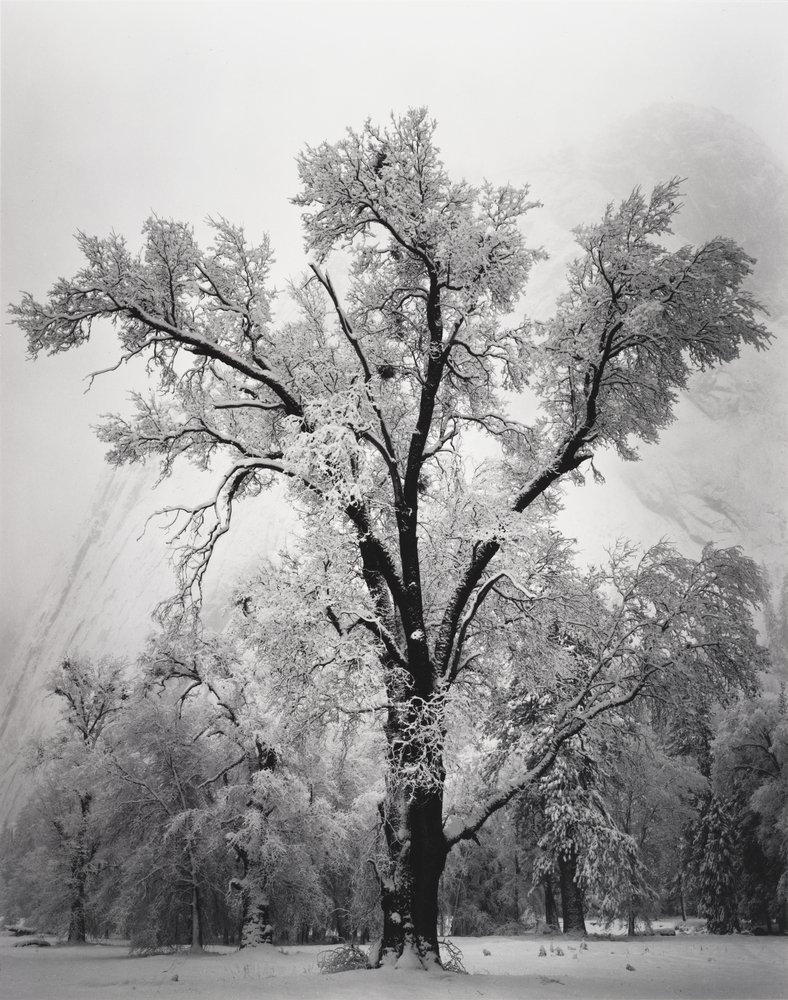 Oak Tree in a Snowstorm - Photograph by Ansel Adams